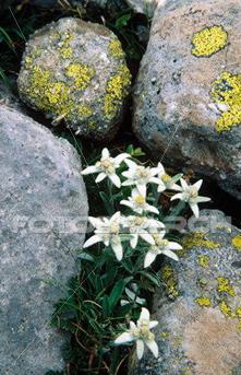 edelweiss-leontopodium-alpinum_~F52-147123